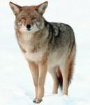 Auf dem Bild ist ein Kojote